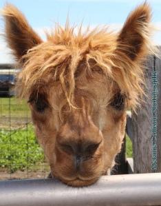 llama mug shot