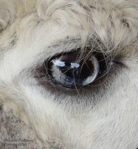alpaca eye